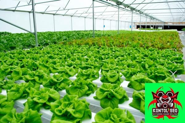 Sayuran apa saja yang bisa ditanam dengan cara hidroponik?