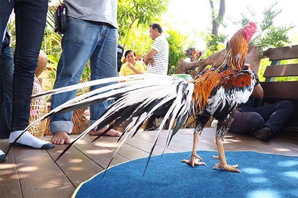 Ayam Aduan Pukul Mati